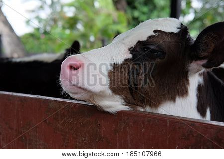 Mother breed cow standing in animal stalls get ready for eat lunch this image for mammal and livestock concept