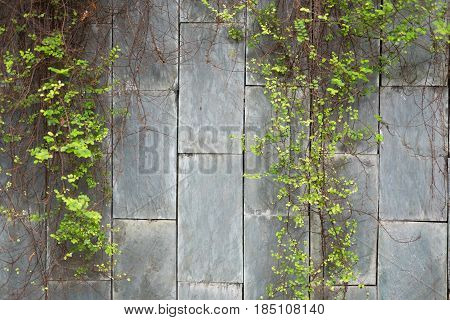 Green Vine Plant Hanging Marble Brick Wall Background. This Image For Nature And Texture Concept