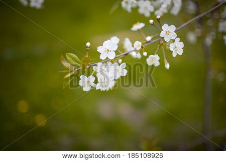 cherry blossom white on a green background and the wind blows
