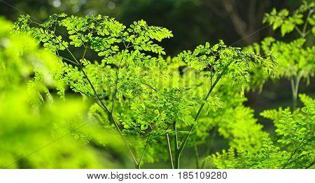 Moringa in the sun, healty malungay tree