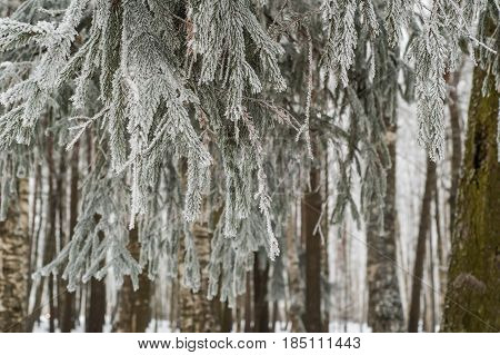The fog in the winter, the trees covered with hoarfrost