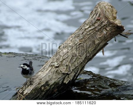 Pied wagtail perched on branch in river