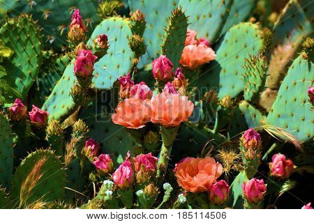 Prickly Pear Cactus Flowers taken during spring in the Mojave Desert, CA