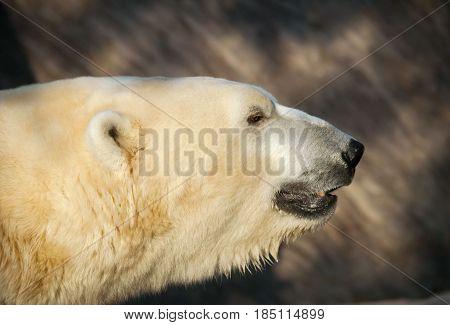 Portrait od polar bear - Ursus maritimus