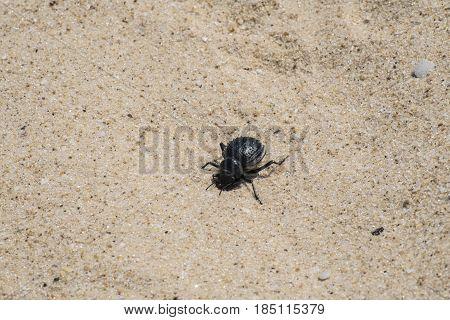 Pimelia bipunctata is a genus of darkling beetles in the subfamily Pimeliinae (Israel, Ziqim)