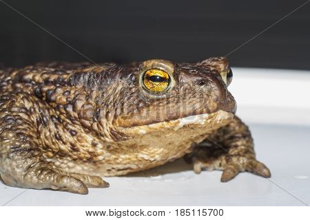 shot of the brown ground toad closeup