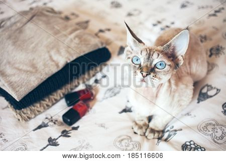 Little cute Devon Rex cat sits on the bed and wants your attention for hugs and play. Cat breeds indoor pet.