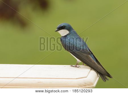 A Tree Swallow (Tachycineta bicolor) sitting atop the roof of a bird box in Carroll County Maryland, USA.