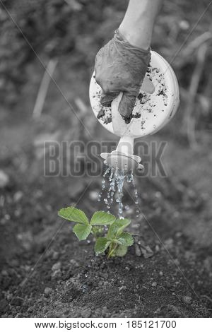Woman Watering Seedlings Of Fresh Strawberries On The Field, Concept