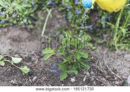 Woman Watering Seedlings Of Fresh Strawberries On The Field