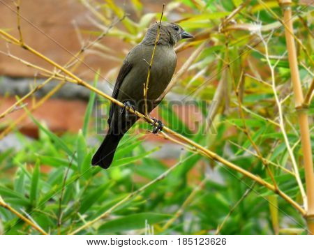 Female Tordus. Bird clinging to a branch. Brown bird. Molothrus bonariensis. Central and South America bird
