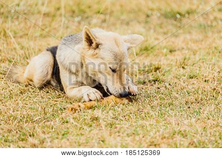 Dog gnawing on a bone in the Grass