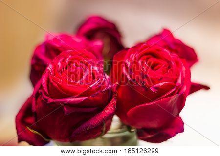 Roses Buds Close-up
