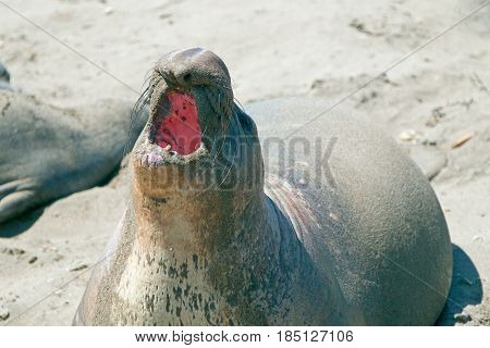 Northern Elephant Seal barking and bellowing while at the Piedras Blancas Elephant Seal colony on the Central Coast of California USA