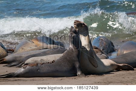 Young Male Northern Elephant Seals fighting in the Pacific at the Piedras Blancas Elephant seal colony on the Central Coast of California USA