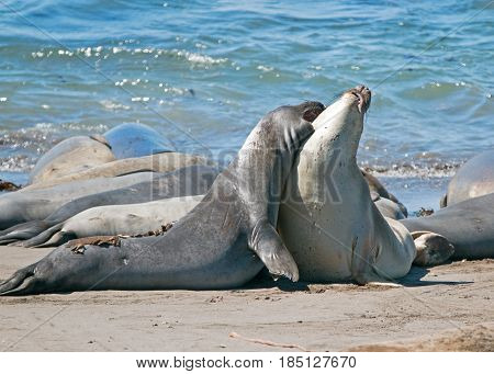 Northern Elephant Seals biting and mock fighting in the Pacific at the Piedras Blancas Elephant seal colony on the Central Coast of California USA