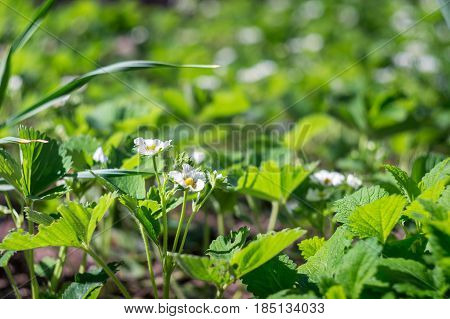 blossom strawberries in the garden in spring time
