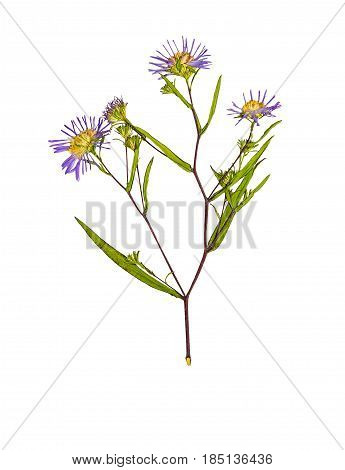 Pressed and dried flower Symphyotrichum novi-belgii (New York aster) on stem with green leaves. Isolated on white background. For use in scrapbooking pressed floristry (oshibana) or herbarium.