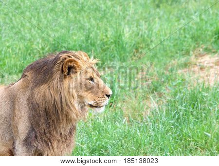Portrait of a young male lion in front of a field of grass looking to viewers right.
