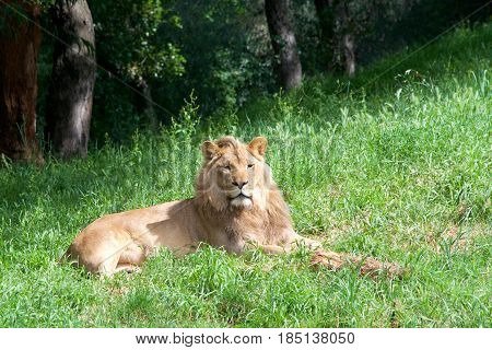 One young male lion laying in green grass looking to viewers right.