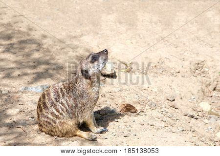 One Meerkat or suricate (Suricata suricatta) sitting on the ground in a curious position looking up to viewers right. Profile view.