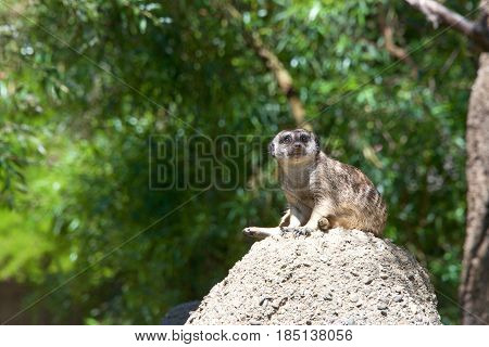 One Meerkat or suricate (Suricata suricatta) sitting on a rocky hill top looking out for danger. Looking towards viewers right.