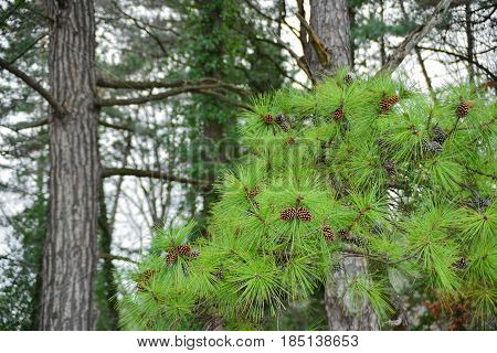 Branch of pine with pine cones and needles on the background of trunks of pine trees