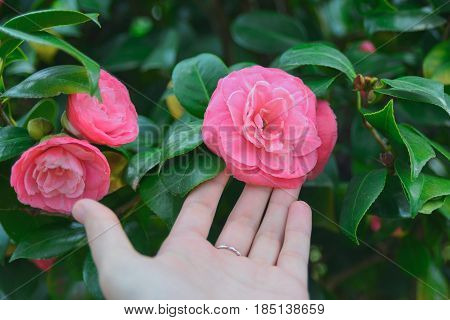 close-up of woman's left hand delicate touch pink camellia in garden