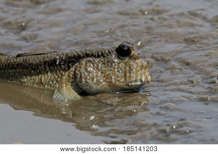 Mudskipper Amphibious fish Oxudercinae in Thailand exotic