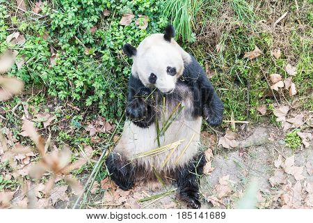 a panda is eating bamboo in wild zoo