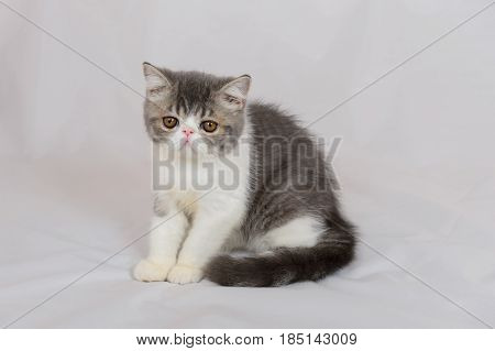 Exotic Shorthair Cat On White Background, Blue Tabby And White