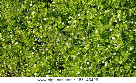 Densely Growing Fine Weed As Natural Background.