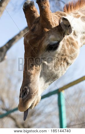 Giraffe shows a great language in nature