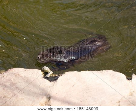 Black coypu on a pond in the park .