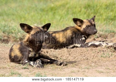 Two African wild dogs (Lycaon pictus) resting on the savannah. Ol Pejeta Conservancy Kenya.