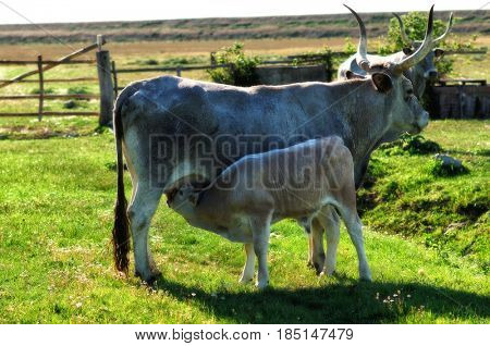 Maremmana cow on pasture with calf sucking on udder, Tuscany, Italy, toned image
