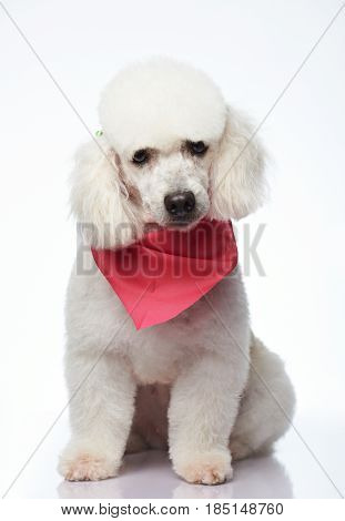 One Cute Groomed Poodle Dog