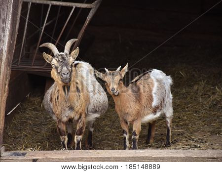 Goats in the doorway of the barn.