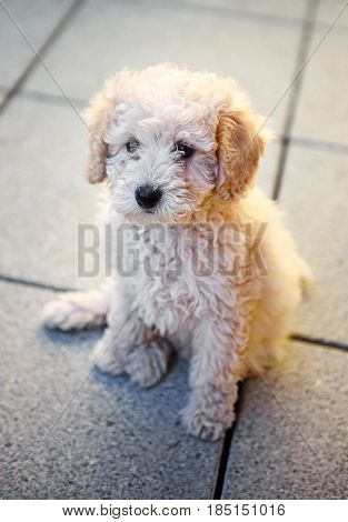 Cute Little Toy Poodle Puppy Sitting On Paving