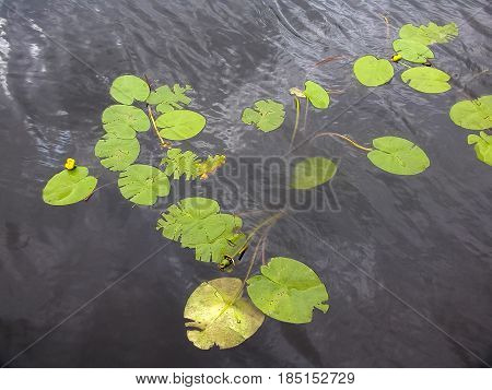 Green Water Lily Flower