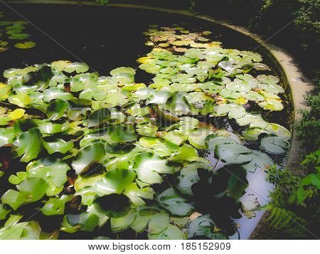 Water Lily Nimphaea