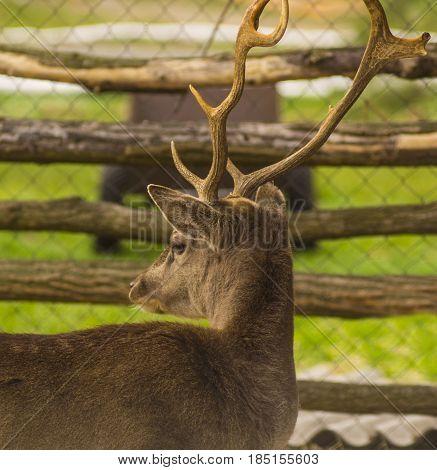 deer. Fawn deer portrait. Whitetail Buck Deer Portrait