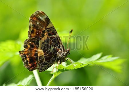 Araschnia levana, Map butterfly  butterfly on leaf. Spring form of map butterfly