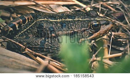 Beautiful frog in nature at the pond in the grass. (Bufo bufo)