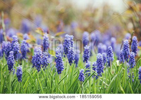 Muscari - Blue Spring Flowers