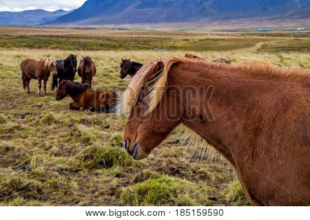 Typical Icelandic horse with long hair in the country
