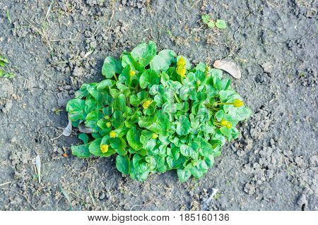 Close up green leaves with yellow flowers growing on ground