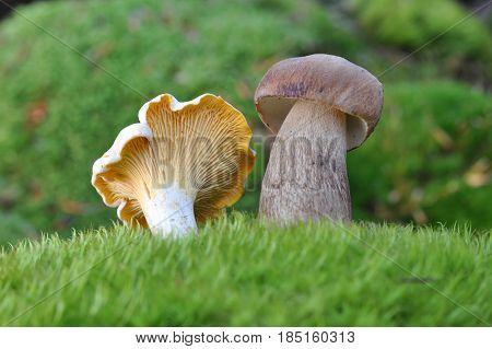 Chanterelle mushroom and boletus edulis or cep in moss. Delicious Edible mushrooms in forest