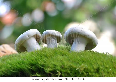 Lactarius piperatus or Peppery milkcap in moss, widespread and popular edible mushroom grows in forest