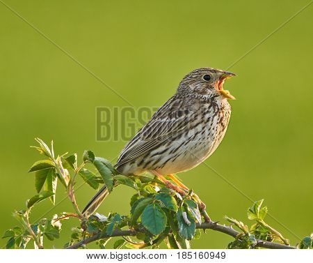 Corn Bunting On A Bush